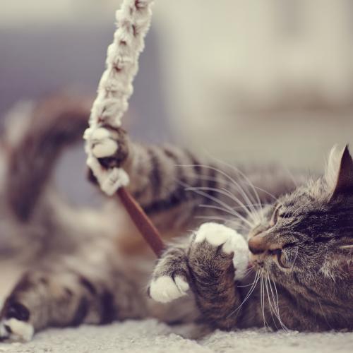 Un chat qui joue malgré l'arthrose