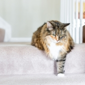 L'arthrose chez le chat