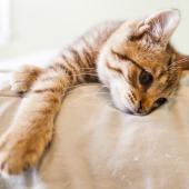 chat couché las