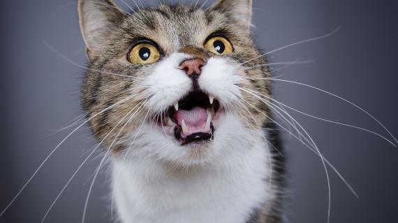 Mon chat miaule, que faire ?
